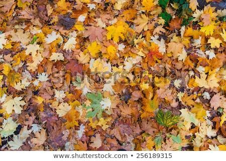 Yellow floor of autumn forest Stock photo © vavlt