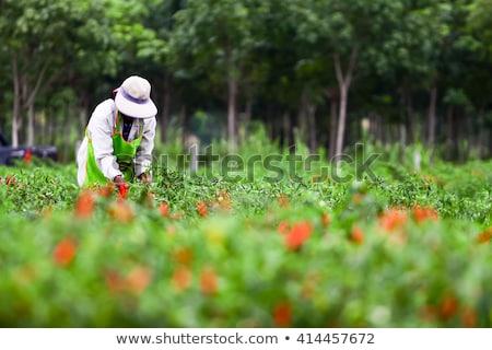 Red chili freshness from organic farm  Stock photo © JohnKasawa