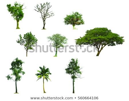 Large  Old Tree In The Rain Forest  Stock photo © saddako2