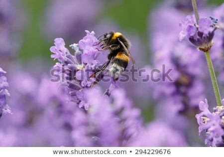 honingbij · paars · witte · bloem · nectar · bloem · tuin - stockfoto © stocker