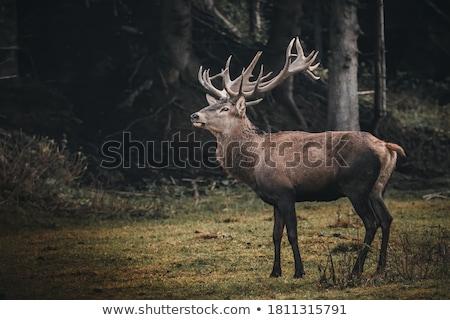 Deer in field Stock photo © Habman_18