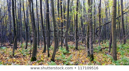 harmonic pattern of trees in forest with path stock photo © meinzahn