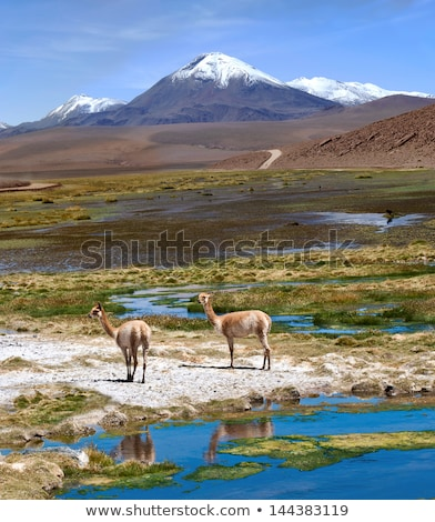 Vicuñas graze in the Atacama, Chile-Argentina-Bolivia Stock photo © xura