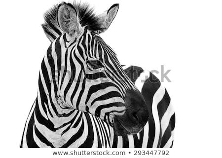 зебры · лице · вверх · тесные · глаза · природы - Сток-фото © oleksandro