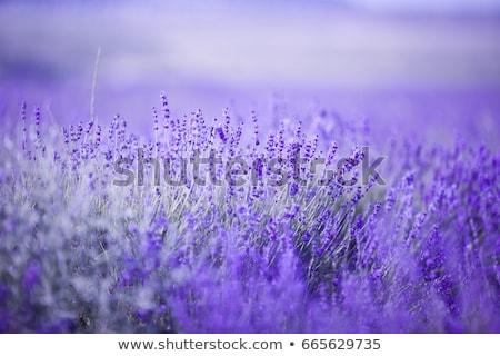 ストックフォト: ラベンダー畑 · ハンガリー · 空 · 日没 · 自然 · 風景