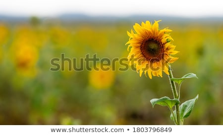 Sunflower close up Stock photo © Joningall