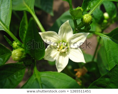 Sweet pepper and flower on white Stock photo © fresh_4870785