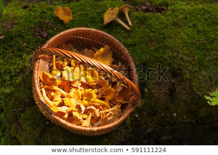 Stock photo: Chanterelles on the moss