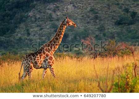 ゲーム リザーブ 風景 南アフリカ 自然 アフリカ ストックフォト © prill