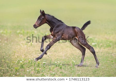 young foal stock photo © fanfo