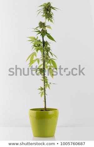 Cannabis plant detail Stock photo © dutourdumonde