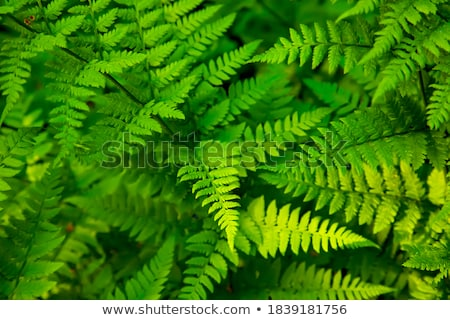 Macro photo vert fougère branche feuilles vertes Photo stock © bezikus