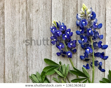 bluebonnet background stock photo © BrandonSeidel