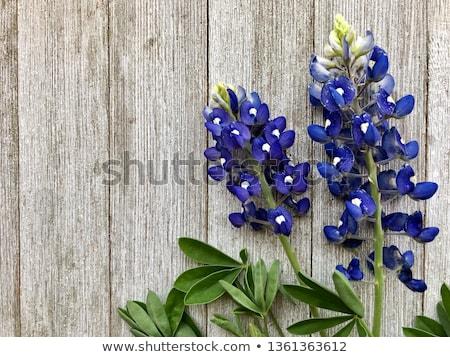 bluebonnet background stock photo © BrandonSeidel
