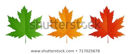 Spring maple leaf Stock photo © ajt