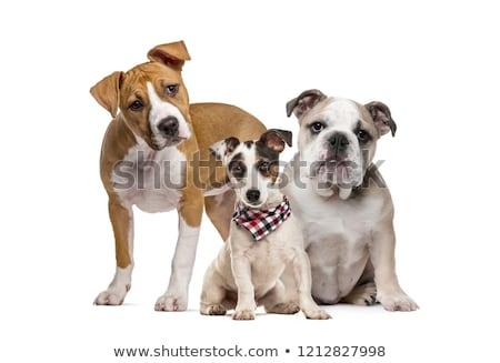 straży · psów · posiedzenia · psa - zdjęcia stock © cynoclub