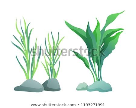 seaweed or algae variegarion illustration set stock photo © robuart