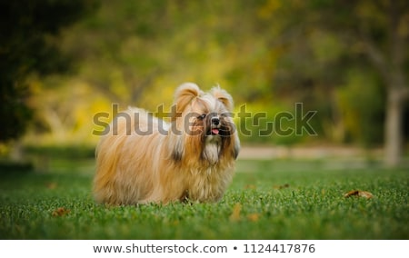 adorable shih tzu stands Stock photo © feedough