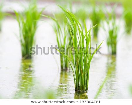 Kilátás fiatal rizs hajtás kész növekvő Stock fotó © galitskaya
