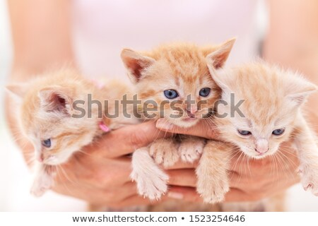 Woman hands hold a bunch of three adorable kitten Stock photo © ilona75