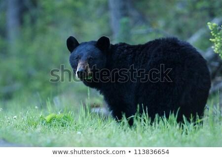 Black Bear sow in lush green grass Stock photo © galitskaya