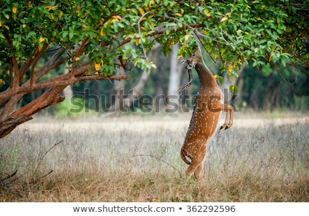 Beautiful male chital or spotted deer in Ranthambore National Park, Rajasthan, India Stock photo © dmitry_rukhlenko
