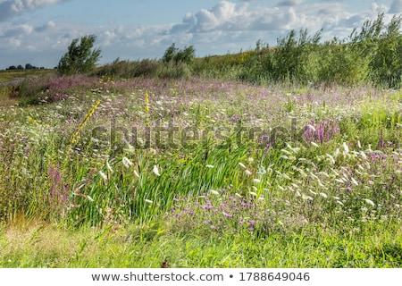 prímula · flores · flor · da · primavera · flor - foto stock © adamr