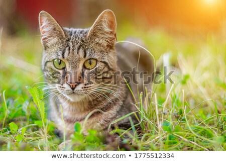 家 猫 芝生 午後 太陽 草 ストックフォト © 3523studio