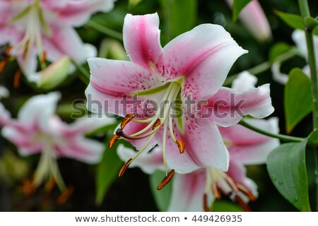 Pink lily in garden Stock photo © fanfo