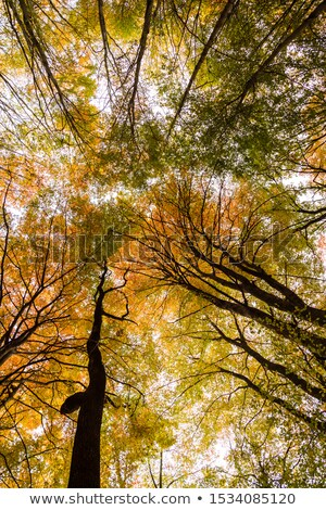 Looking up Tall Deciduous Trees on Trail stock photo © swatchandsoda