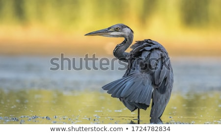 Great Blue Heron Looking for Fish stock photo © mikecharles