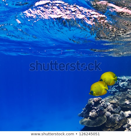 Two striped coral fishes under water Stock photo © jet