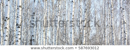 birch trees background stock photo © d13