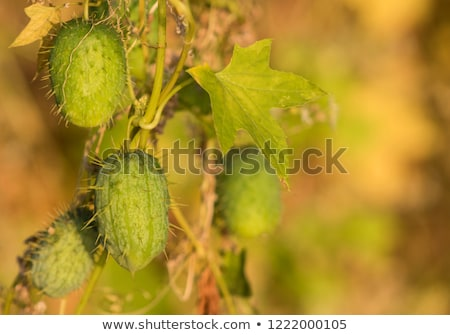 golden prickly cucumber fruits Stock photo © prill