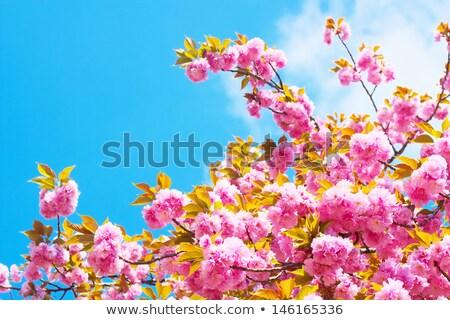 ダブル 桜 青空 空 ストックフォト © shihina