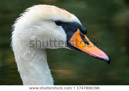 Stock fotó: Mute Swan Portrait Cygnus Olor