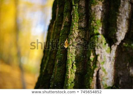 Stok fotoğraf: Ağaç · havlama · soluk · turuncu · gri