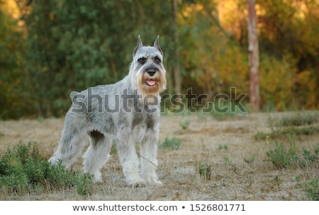 Standard Schnauzer portrait Stock photo © vtls