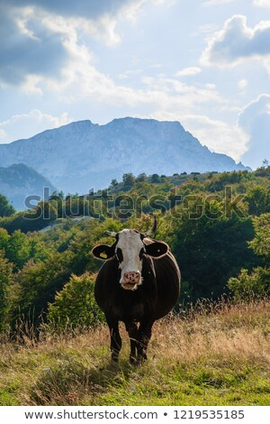 Cows in the national park Durmitor in Montenegro, Balkans Stock photo © vlad_star