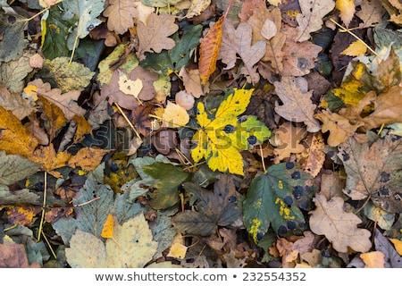 Klon kamuflaż papieru tekstury drzewo projektu Zdjęcia stock © Karamio
