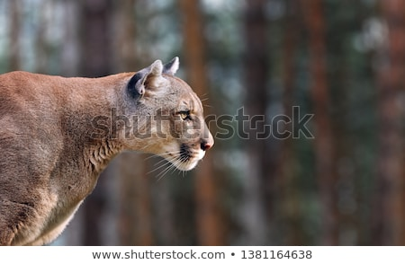A grey lion Stock photo © bluering