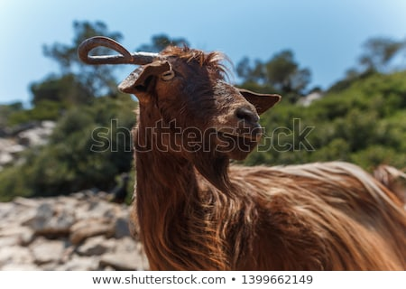 Portrait of redhead goat on the pasture Stock photo © Kotenko