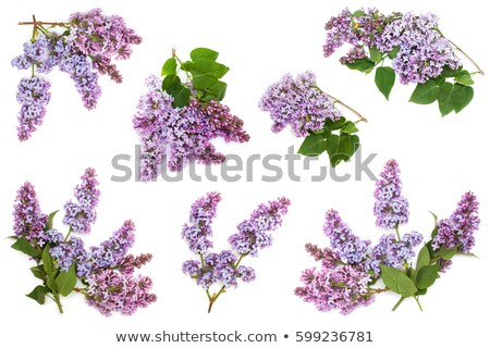 Lila árbol violeta flores hojas verdes Foto stock © neirfy