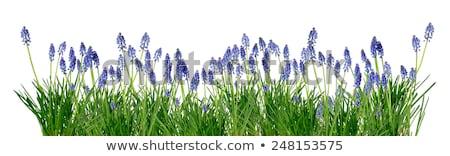 azul · uvas · videira · enforcamento · vinha · folhas · verdes - foto stock © simply