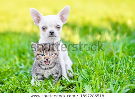 puppy chihuahua and kitten stock photo © cynoclub
