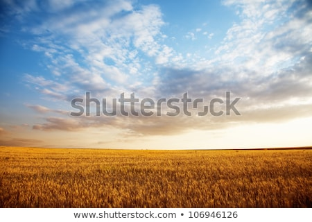 Field of ripe wheat and sky with clouds stock photo © Epitavi
