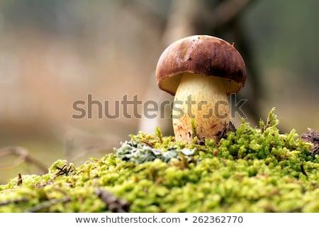 ヤマドリタケ属の食菌 · 成長 · 苔 · 針 · 白 · ビッグ - ストックフォト © romvo
