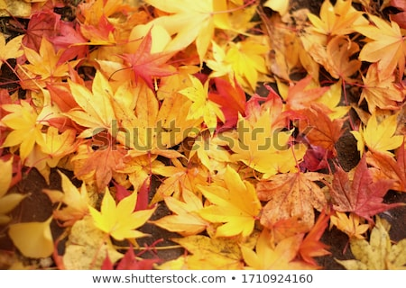 Colorful autumn leaf in the forest Stock photo © bdspn