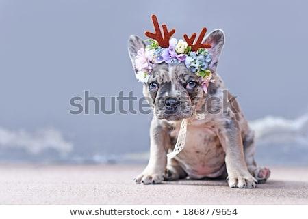 cucciolo · indossare · corona · specchio · bellezza · ritratto - foto d'archivio © feedough