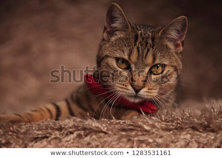 classy cat with stripes and red bowtie lies on fur Stock photo © feedough